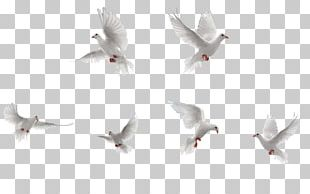 Bird Rock Dove Flight PNG