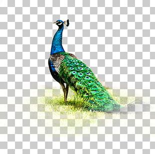 Peafowl Fenghuang PNG