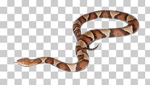 Western Diamondback Rattlesnake Copperhead Cottonmouth Stock Photography PNG