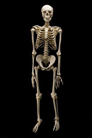 Homo Sapiens Homo Naledi Chimpanzee Bone Human Skeleton PNG