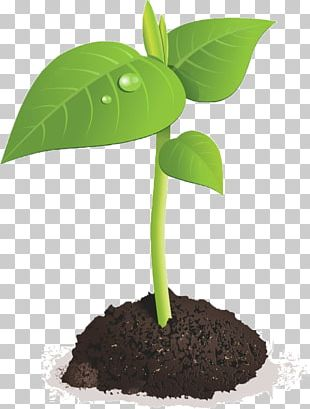 Sprouting Seed Brussels Sprout Bean PNG