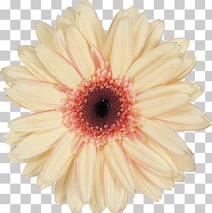 Daisy Family Chrysanthemum Argyranthemum Frutescens Cut Flowers PNG