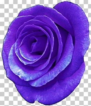 Centifolia Roses Purple Flower Garden Roses Violet PNG