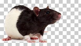 Mouse Laboratory Rat Rodent Fancy Rat PNG