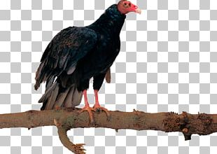 Bird Egyptian Vulture Eagle Hawk PNG