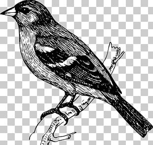 Bird Finch Drawing PNG