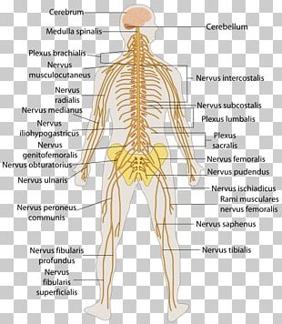 Central Nervous System Human Body Anatomy Peripheral Nervous System PNG