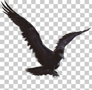 Eagle Fauna Vulture Beak Feather PNG