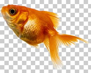 Goldfish Benthic Zone Deep Sea Fish PNG