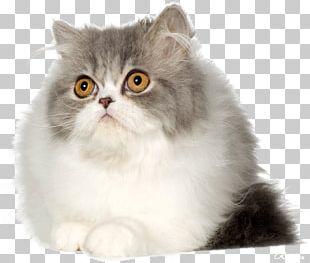 Persian Cat Kitten British Semi-longhair British Shorthair Asian Semi-longhair PNG