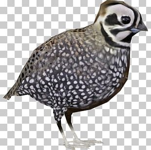 Quail Fauna Beak Feather Neck PNG