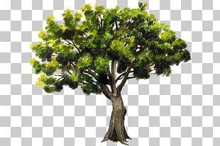 Branch Accroforest Peyrins Tree Pointleaf Manzanita Ehretia Tinifolia PNG
