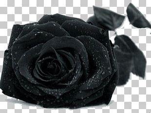 Black Rose Drop PNG