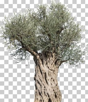 Olive Stock Photography Tree Mediterranean Cuisine Branch PNG