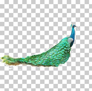 Asiatic Peafowl Feather Green Peafowl PNG