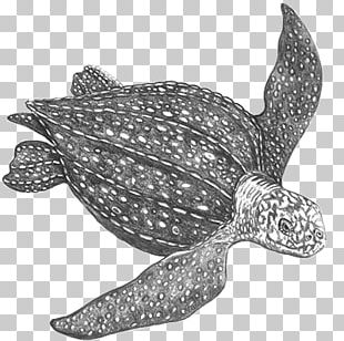 Loggerhead Sea Turtle Leatherback Sea Turtle Reptile Tortoise PNG