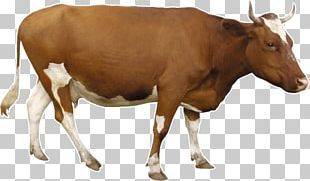 Beef Cattle Dairy Cattle PNG