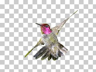 Hummingbird Watercolor Painting Drawing PNG