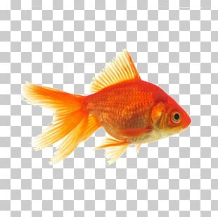 Oranda Common Goldfish Butterfly Tail Telescope PNG