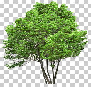 Tree Oak Pine Arecaceae Stock Photography PNG