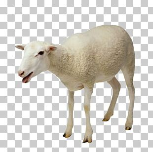 Sheep Goat Milking Taurine Cattle PNG