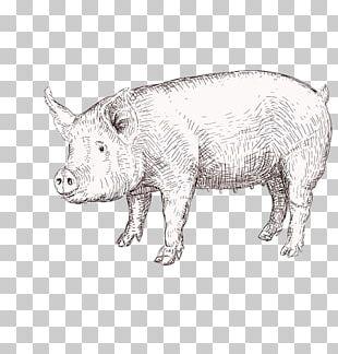 Domestic Pig Drawing Graphics Illustration PNG