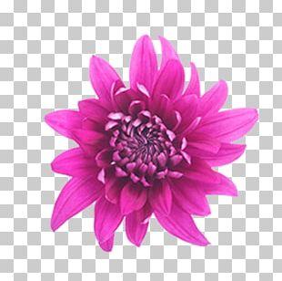 Dahlia Cut Flowers Cornflower Pink Flowers PNG