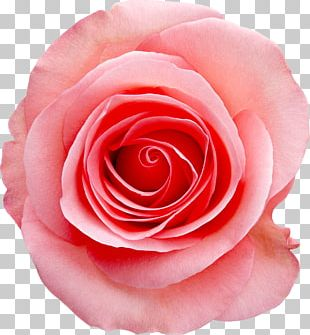 Rose Pink White Stock Photography PNG
