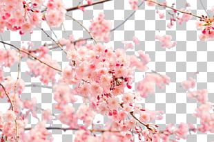 Japan Cherry Blossom 4K Resolution PNG
