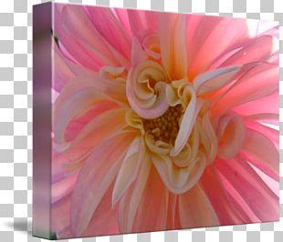 Transvaal Daisy Floristry Cut Flowers Rose Family Dahlia PNG