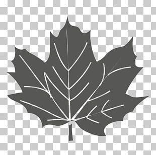 Maple Leaf Sycamore Maple Green PNG