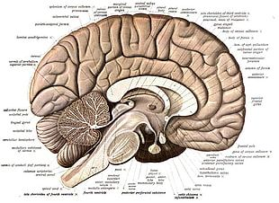 Human Brain Anatomy Diagram Human Body PNG