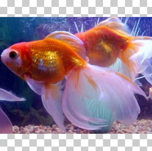 Veiltail Common Goldfish Shubunkin Comet Pearlscale PNG
