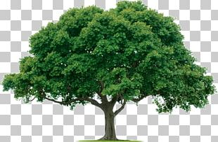 Evergreen Tree Care Arborist Forest PNG
