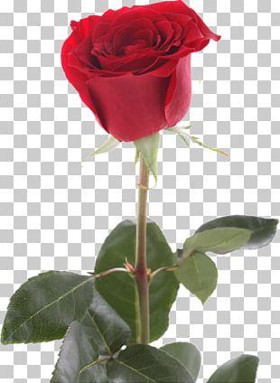 Garden Roses Cabbage Rose Rosacea Dermatology Rose Family PNG