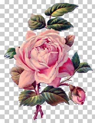Rose Pink Antique Drawing PNG