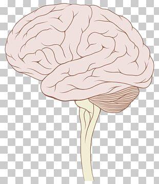 Brainstem Human Brain Brain Tumor Brain Stem Tumor PNG
