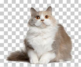 Kitten British Semi-longhair British Shorthair Valentine's Day Dog PNG