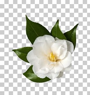 Sasanqua Camellia Japanese Camellia Flower Stock Photography PNG
