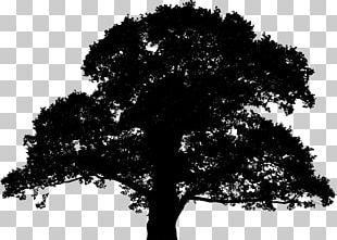 English Oak Sessile Oak Tree Silhouette PNG