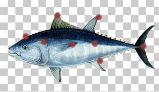 Mackerel Southern Bluefin Tuna Atlantic Bluefin Tuna Pacific Bluefin Tuna Oily Fish PNG