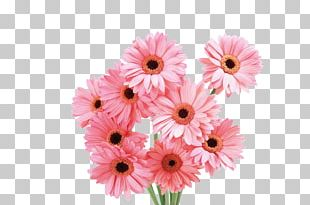 Transvaal Daisy Flower Pink Rose PNG
