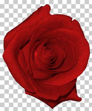 Beach Rose Garden Roses Flower PNG