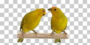 Atlantic Canary Saffron Finch Passerine Lovebird Pet PNG