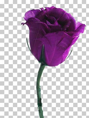 Desktop Rose Flower Violet Purple PNG