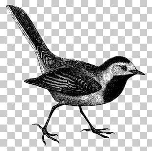 Common Blackbird Euclidean PNG