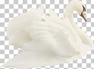 Cygnini Duck Feather Beak White PNG