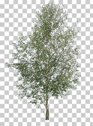 Paper Birch Tree Oak Pine Elm PNG