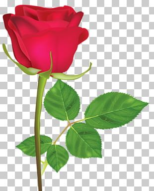 Pink Rose Red Flower White PNG