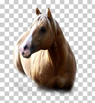 American Paint Horse Mustang American Quarter Horse Mane Mare PNG